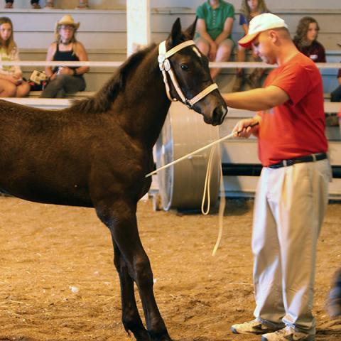 Draft Horse Halter Class Judging