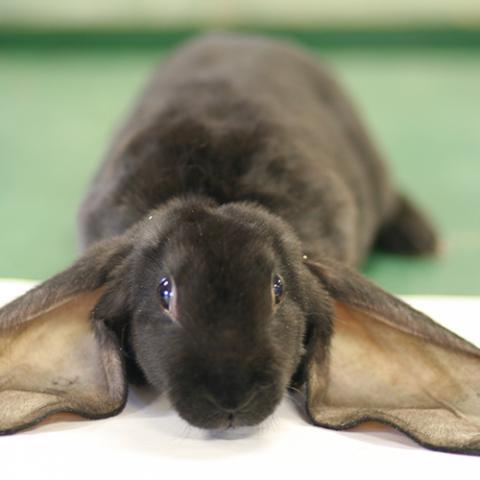Rabbit Evaluations, Costume Contest & Showmanship
