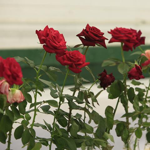 Rose Display & Show
