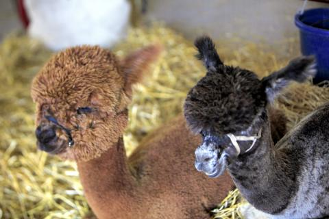Vintage Alpacas